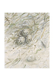Seaside Nest     Giclee Print by Arnie Fisk