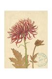 Chrysanthemum Curiosity Poster von Chad Barrett
