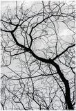 Bare Tree Limbs Print