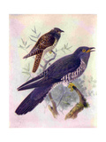 1950s UK Cuckoos Magazine Plate Impression giclée