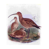 1950s UK Curlews Book Plate Reproduction procédé giclée