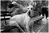 Great Dane in Central Park NYC B/W Reprodukcje