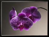 Water Drops on Orchids Framed Photographic Print