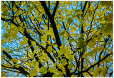 Green Leaves on Blue Sky B/W Poster
