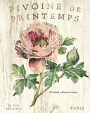 Pivoine de Printemps Posters by Sue Schlabach