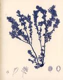 Blue Botanical Study III Posters af Kimberly Poloson