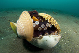 A Coconut Octopus, Lembeh Strait, Sulawesi, Indonesia Fotoprint
