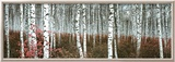 Silver Birch Forest, China Poster
