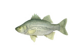 Illustration of a White Bass (Morone Chrysops), Freshwater Fish Poster