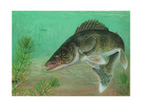 Illustration of a Walleye Swimming Posters
