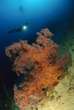 Close-Up View of Soft Tree Coral, Gorontalo, Sulawesi, Indonesia Photographic Print
