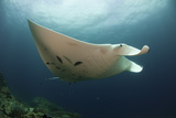 Underside View of a Giant Oceanic Manta Ray, Raja Ampat, Indonesia Photographic Print