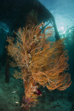 Gorgonian Sea Fan Attached to a Leg under Arborek Jetty, Raja Ampat Photographic Print