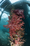 Soft Corals Adorn the Legs of Arborek Jetty, Raja Ampat, Indonesia Photographic Print