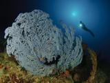 A Very Rare Blue Sea Fan, Gorontalo, Indonesia Photographic Print