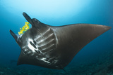 The Reef Manta Ray with Yellow Pilot Fish in Front of its Mouth Photographic Print