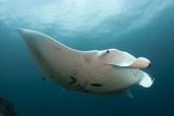 Underside View of a Giant Oceanic Manta Ray, Raja Ampat, Indonesia Reprodukcja zdjęcia
