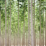 Poplars 1 Photographic Print by Paul Edmondson