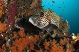A Pair of Many-Spotted Sweetlips on a Soft Coral Covered Reef Photographic Print