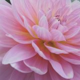 Dreamy Dahlia Print by Karen Ussery