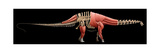 Apatosaurus Skeleton and Muscles Prints