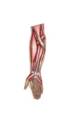 Anatomy of Human Forearm Muscles, Superficial Anterior View Prints