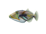 Illustration of a Picasso Triggerfish (Rhinecanthus Aculeatus) Art