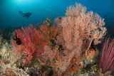 Gorgonian Sea Fans on a Reef in Raja Ampat, West Papua, Indonesia Photographic Print