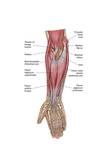 Anatomy of Forearm Muscles, Anterior View, Middle Posters