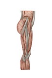 Anatomy of Human Thigh Muscles, Anterior View Prints