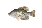 Illustration of a Black Crappie, Freshwater Fish Prints