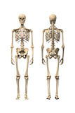 Anatomy of Male Human Skeleton, Front View and Back View Prints