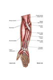 Anatomy of Human Forearm Muscles, Superficial Anterior View Poster