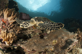 Close-Up View of a Hawksbill Sea Turtle on a Reef in Raja Ampat Photographic Print