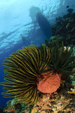 Variable Bushy Feather Star, Gorontalo, Sulawesi, Indonesia Photographic Print