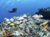 A Diver Hovers over a School of Grunts and Snappers on a Caribbean Reef Photographic Print