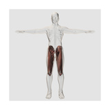 Male Muscle Anatomy of the Human Legs, Anterior View Poster