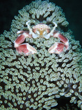 Spotted Porcelain Crab in Anemone, Gorontalo, Sulawesi Indonesia Photographic Print