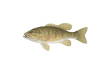 Illustration of a Smallmouth Bass (Micropterus Dolomieu) Posters