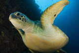 A Large Green Turtle Swims Alongside a Wall, Indonesia Photographic Print