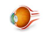 Anatomy of Human Eye, Perspective Prints