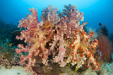 Colorful Soft Corals Adorn a Reef in Raja Ampat, Indonesia Photographic Print