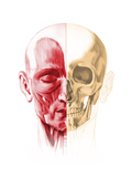 Anatomy of a Male Human Head, with Half Muscles and Half Skull Prints