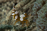 Squat Anemone Shrimp, Side View, Gorontalo, Sulawesi, Indonesia Photographic Print