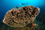 The Salvador Dali Sponge with Intricate Swirling Surface Pattern, Indonesia Fotografie-Druck