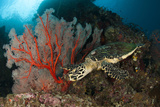 Close-Up View of a Hawksbill Sea Turtle Next to a Red Sea Fan, Indonesia Photographic Print