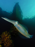 Bigfin Reef Squid Tending Eggs Along a Buoy Line, Lembeh Strait, Indonesia Photographic Print