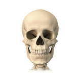 Anatomy of Human Skull, Front View Prints