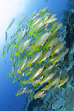 Schooling Brownstripe Snapper, Raja Ampat, West Papua, Indonesia Photographic Print