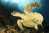 Close-Up View of the Underside of a Hawksbill Sea Turtle with Barnacles Photographic Print